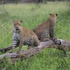 Day 11 & 12 : Our Last Game Drive at Sabi Sands & The Last day of our Honeymoon!
