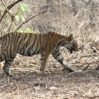 RANTHAMBORE ITINERARY – The Perfect 3 Days